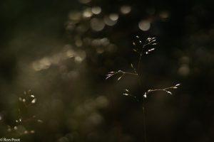 Low key: foto onderbelicht waardoor de oplichtende grasaartjes schitteren tegen de donkere achtergrond. - Fotograaf: Ron Poot