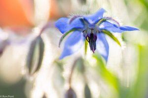 Tegenlicht opname van een bloem.  - Fotograaf: Ron Poot