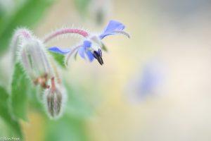 Bernagie is een tuinplant die vaak verwilderd wordt aangetroffen.  - Fotograaf: Ron Poot