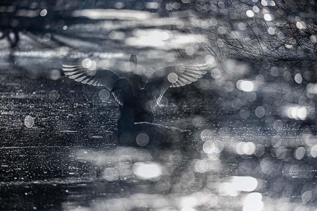 Illusion (Swan)