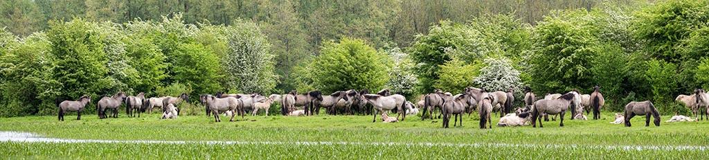 Konikpaarden in de Stille Kern.