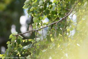 Grauwe vliegenvanger in de tuin van mijn ouders. Hij valt bijna niet op in deze berkenboom. - Fotograaf: Christien van der Veen