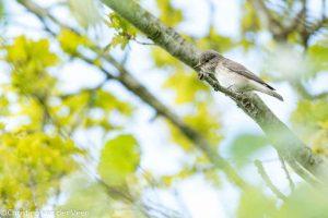 Grauwe vliegenvangers komen voor in open loofbossen en gemengde bossen, maar ook in parken en tuinen en boerenerven. De grootste vindkans heb je bij een oud loofbos houtwallen. - Fotograaf: Christien van der Veen