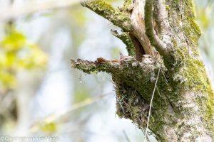 Grauwe vliegenvangers vinden het fijn om een open uitzicht te hebben vanuit het nest en broeden daarom vaak in een open holte van bijvoorbeeld een boom. - Fotograaf: Christien van der Veen