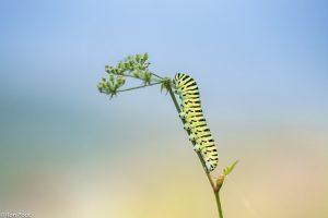 In warme zomer kun je ook in onze streken de rupsen aantreffen. - Fotograaf: Ron Poot