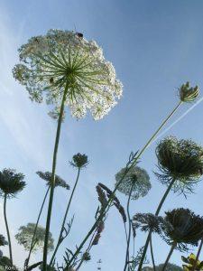 Schermen van bloeiende peen tegen de blauwe lucht, met groothoeklens. - Fotograaf: Ron Poot