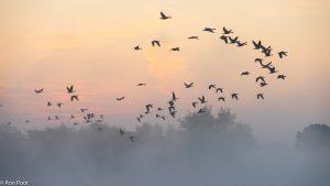Ganzen vliegen op bij zonsopkomst in de nevels boven het water. - Fotograaf: Ron Poot