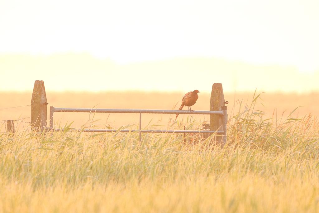 fazant op een hek