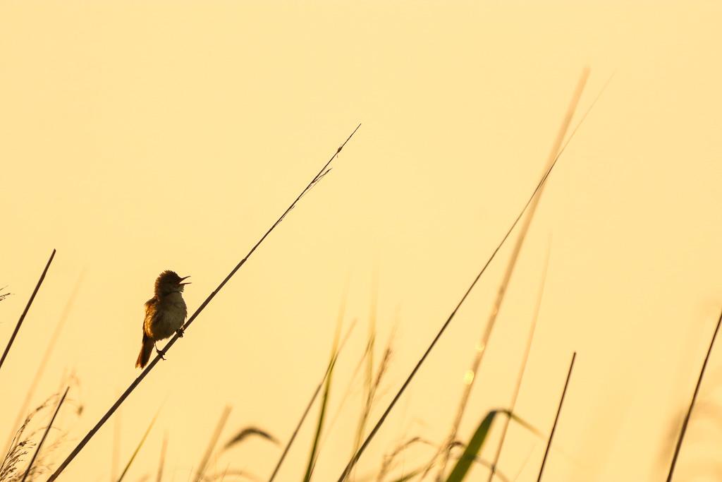 Solitaire vogel