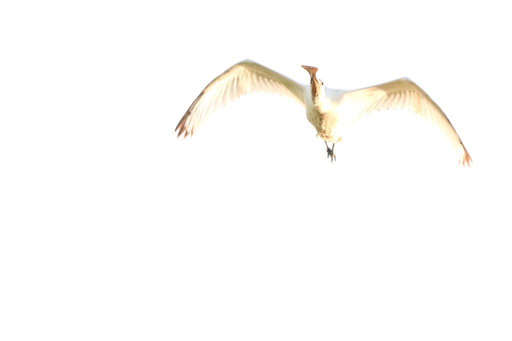 Vliegende lepelaar