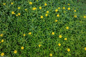 De waterteunisbloem kan massaal optreden en watergangen verstoppen. - Fotograaf: Ron Poot