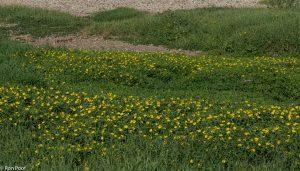 Massale bloei aan een rivieroever. - Fotograaf: Ron Poot