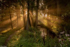 Een gouden gloed van zonneharpen door de boomkruinen. - Fotograaf: Ron Poot