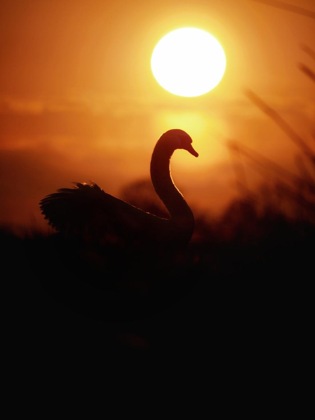 Zwaan met zonsondergang