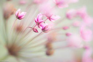Een andere benadering van de bloeischerm: van opzij met geringe scherptediepte. - Fotograaf: Ron Poot