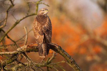 Roofvogels fotograferen gaat beter met deze tips.