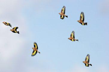 Handboek Vogels in vlucht