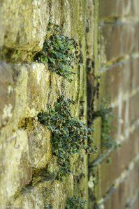 Stadsmuur met muurvarentjes tussen de voegen in staand formaat. - Fotograaf: Ron Poot