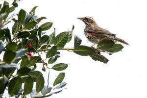 Koperwiek in de hulst, opgewacht onder een camouflagekleedje kon ik deze schuwe vogel fotograferen.  - Fotograaf: Christien van der Veen