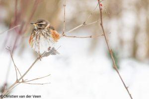 Koperwiek in winters landschap.  - Fotograaf: Christien van der Veen
