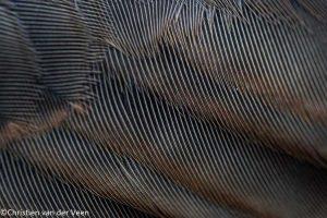 Vleugelveertjes van de koperwiek. - Fotograaf: Christien van der Veen