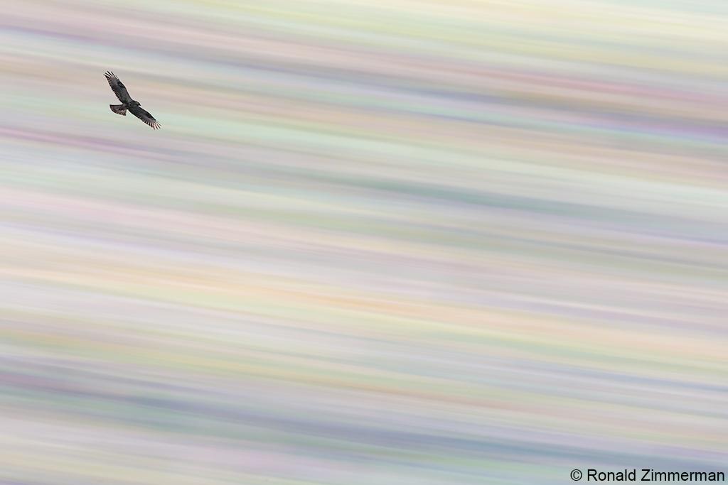 Buizerd in Nationaal Park Zuid-Kennemerland. Eervolle vermelding in de Groene Camera 2021